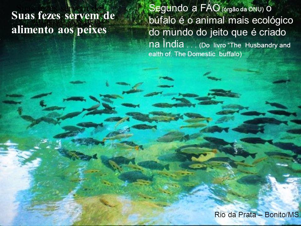 Suas fezes servem de Alimento aos peixes Suas fezes servem de alimento aos peixes Rio da Prata – Bonito/MS.