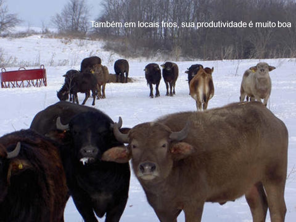 O Búfalo e o Meio Ambiente O Búfalo, por ser mais rústico que outro bovino qualquer é um animal ecologicamente sustentável.