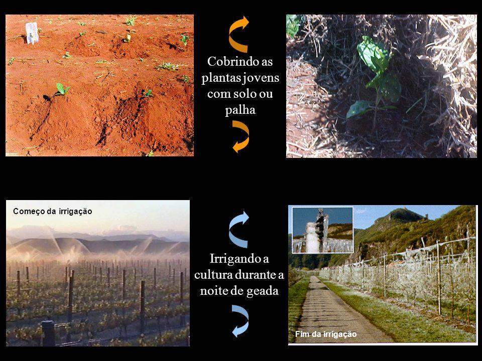 Cobrindo as plantas jovens com solo ou palha Irrigando a cultura durante a noite de geada Começo da irrigação Fim da irrigação