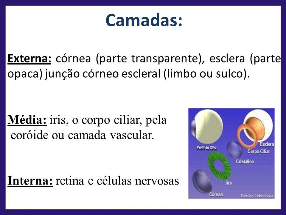 Camadas: Externa: córnea (parte transparente), esclera (parte opaca) junção córneo escleral (limbo ou sulco). Média: íris, o corpo ciliar, pela coróid