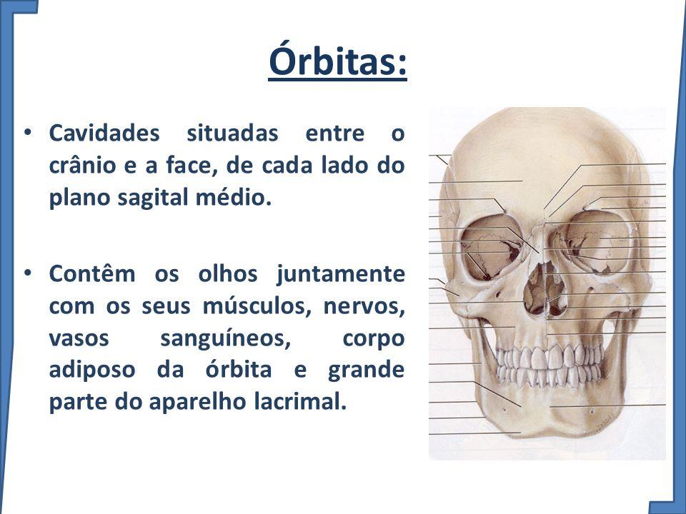 Órbitas: Cavidades situadas entre o crânio e a face, de cada lado do plano sagital médio. Contêm os olhos juntamente com os seus músculos, nervos, vas