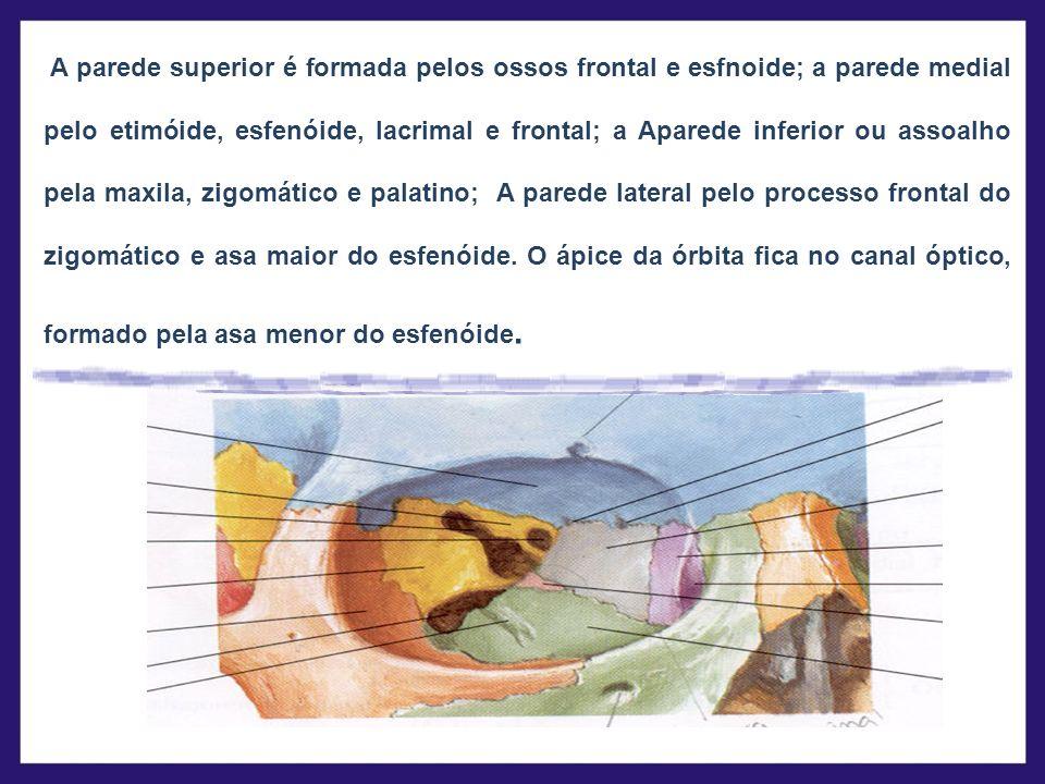 A parede superior é formada pelos ossos frontal e esfnoide; a parede medial pelo etimóide, esfenóide, lacrimal e frontal; a Aparede inferior ou assoal