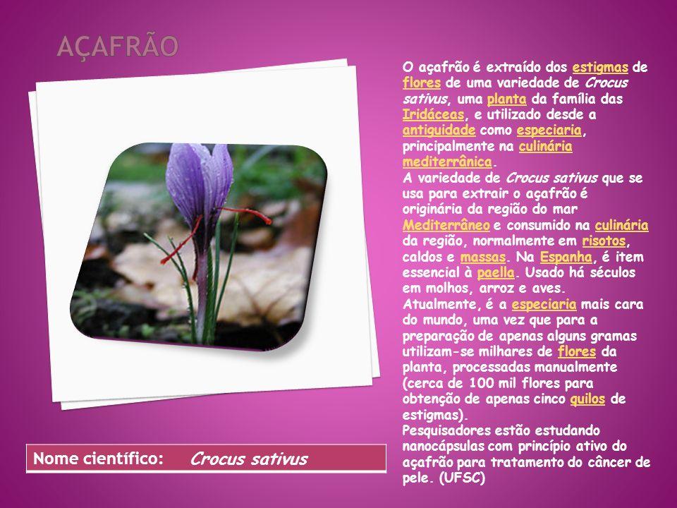 O açafrão é extraído dos estigmas de flores de uma variedade de Crocus sativus, uma planta da família das Iridáceas, e utilizado desde a antiguidade como especiaria, principalmente na culinária mediterrânica.estigmas floresplanta Iridáceas antiguidadeespeciariaculinária mediterrânica A variedade de Crocus sativus que se usa para extrair o açafrão é originária da região do mar Mediterrâneo e consumido na culinária da região, normalmente em risotos, caldos e massas.