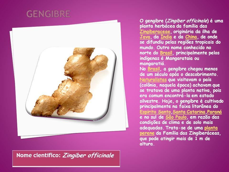 O gengibre (Zingiber officinale) é uma planta herbácea da família das Zingiberaceae, originária da ilha de Java, da Índia e da China, de onde se difun