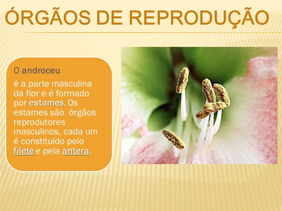 O androceu estames fileteantera é a parte masculina da flor e é formado por estames. Os estames são órgãos reprodutores masculinos, cada um é constitu