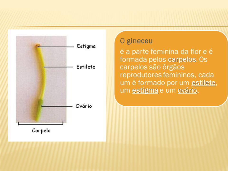 O gineceu carpelos estilete estigma ovário é a parte feminina da flor e é formada pelos carpelos. Os carpelos são órgãos reprodutores femininos, cada