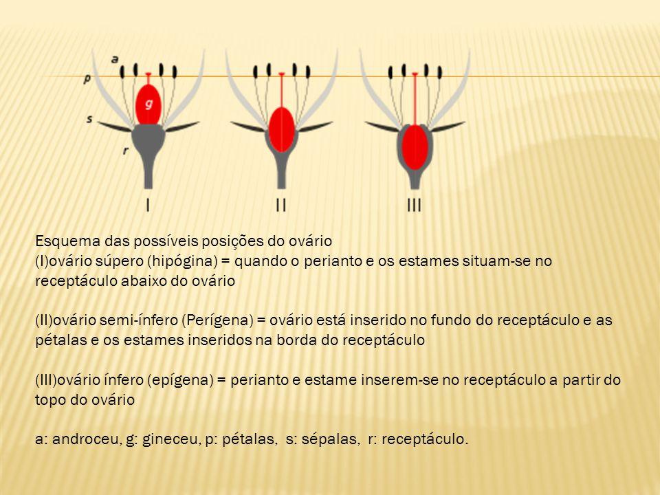 Esquema das possíveis posições do ovário (I)ovário súpero (hipógina) = quando o perianto e os estames situam-se no receptáculo abaixo do ovário (II)ov