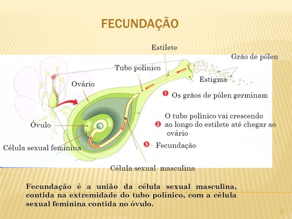 FECUNDAÇÃO Grão de pólen Estigma Estilete Tubo polínico Ovário Óvulo Célula sexual feminina Célula sexual masculina Os grãos de pólen germinam O tubo