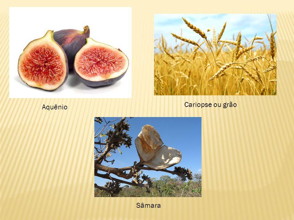 Aquênio Cariopse ou grão Sâmara