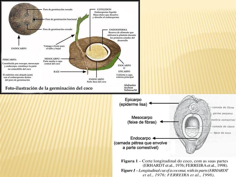 As sementes correspondem ao óvulo já fecundado. A SEMENTE