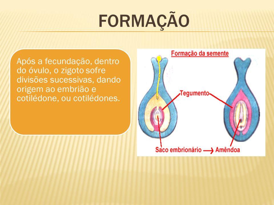 Após a fecundação, dentro do óvulo, o zigoto sofre divisões sucessivas, dando origem ao embrião e cotilédone, ou cotilédones. FORMAÇÃO