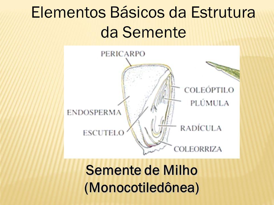 Semente de Milho (Monocotiledônea) Elementos Básicos da Estrutura da Semente