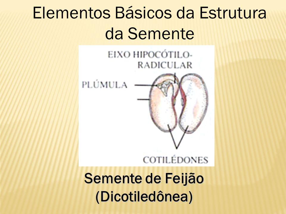Semente de Feijão (Dicotiledônea) Elementos Básicos da Estrutura da Semente