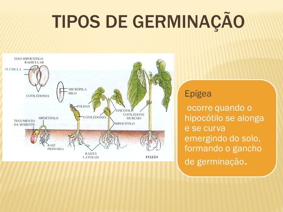 Epígea ocorre quando o hipocótilo se alonga e se curva emergindo do solo, formando o gancho de germinação. TIPOS DE GERMINAÇÃO