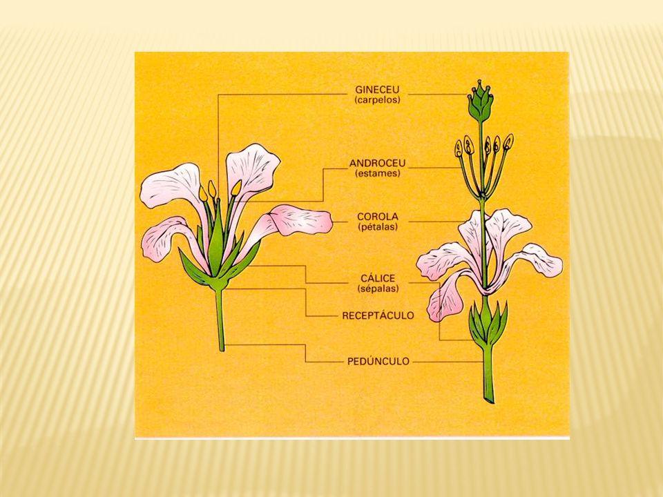 Sépalas cálice.Pequenas peças florais geralmente de cor verde, têm a função de proteger a flor.
