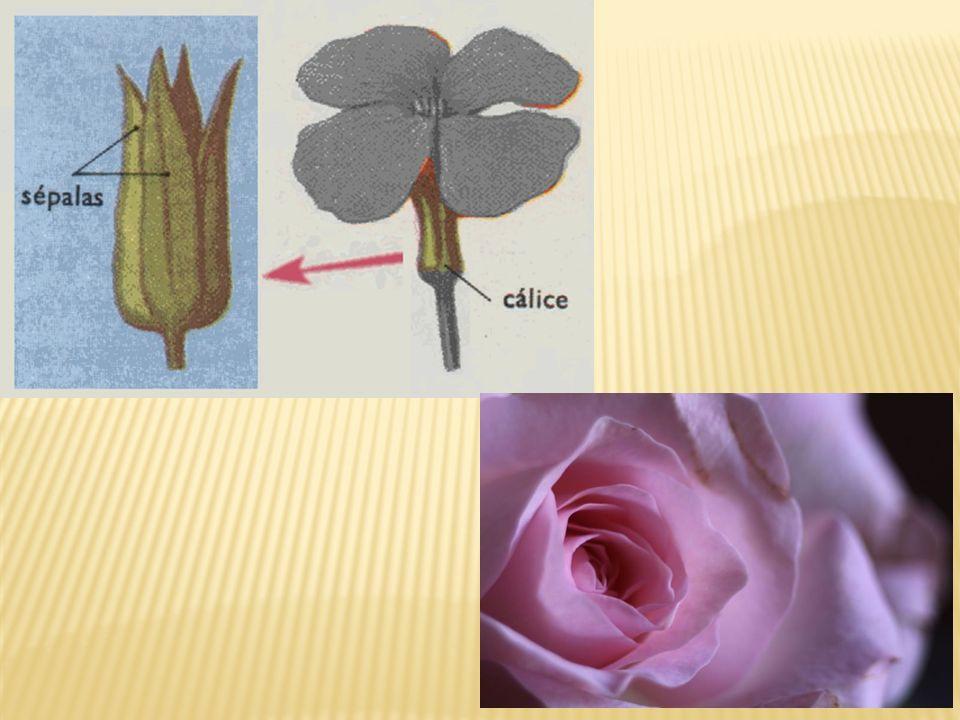 O androceu estames fileteantera é a parte masculina da flor e é formado por estames.