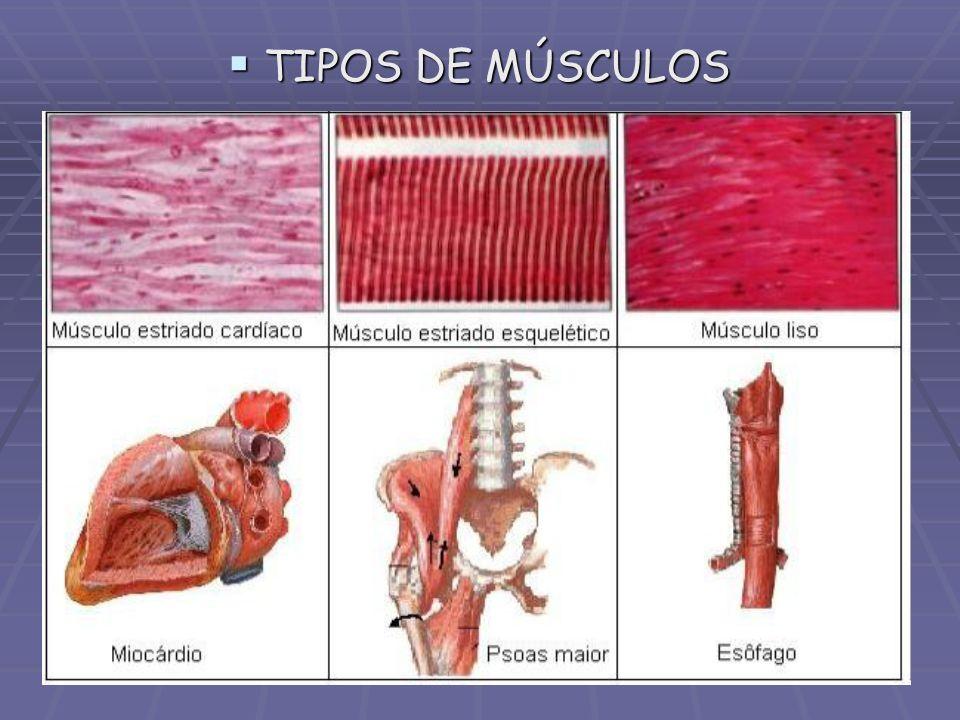 TIPOS DE MÚSCULOS TIPOS DE MÚSCULOS
