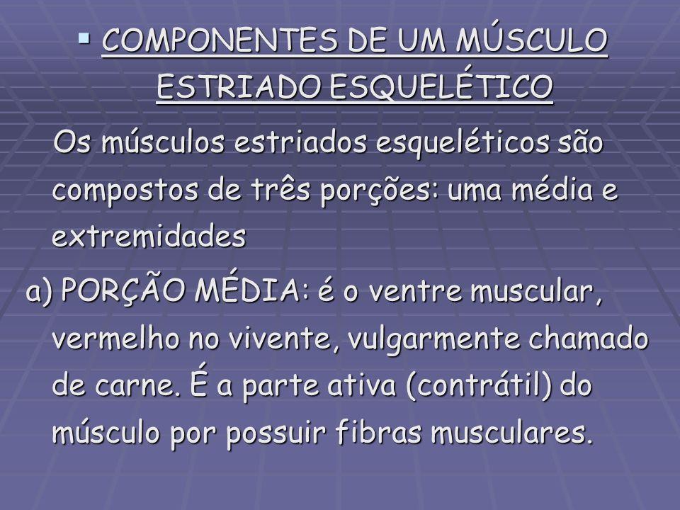 COMPONENTES DE UM MÚSCULO ESTRIADO ESQUELÉTICO COMPONENTES DE UM MÚSCULO ESTRIADO ESQUELÉTICO Os músculos estriados esqueléticos são compostos de três
