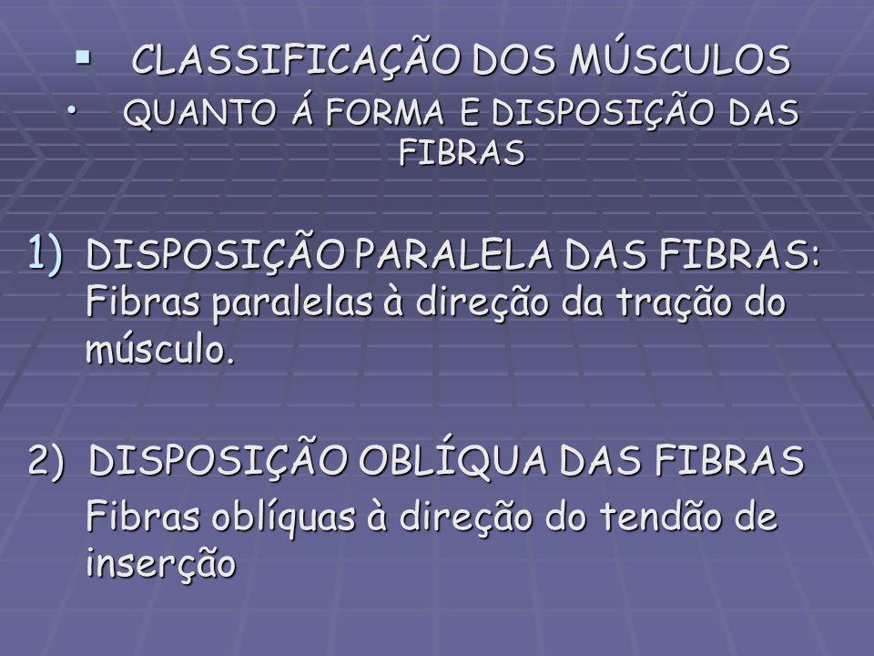 CLASSIFICAÇÃO DOS MÚSCULOS CLASSIFICAÇÃO DOS MÚSCULOS QUANTO Á FORMA E DISPOSIÇÃO DAS FIBRAS QUANTO Á FORMA E DISPOSIÇÃO DAS FIBRAS 1) DISPOSIÇÃO PARA