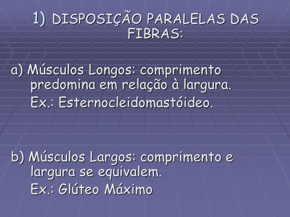 1) DISPOSIÇÃO PARALELAS DAS FIBRAS: a) Músculos Longos: comprimento predomina em relação à largura. Ex.: Esternocleidomastóideo. b) Músculos Largos: c
