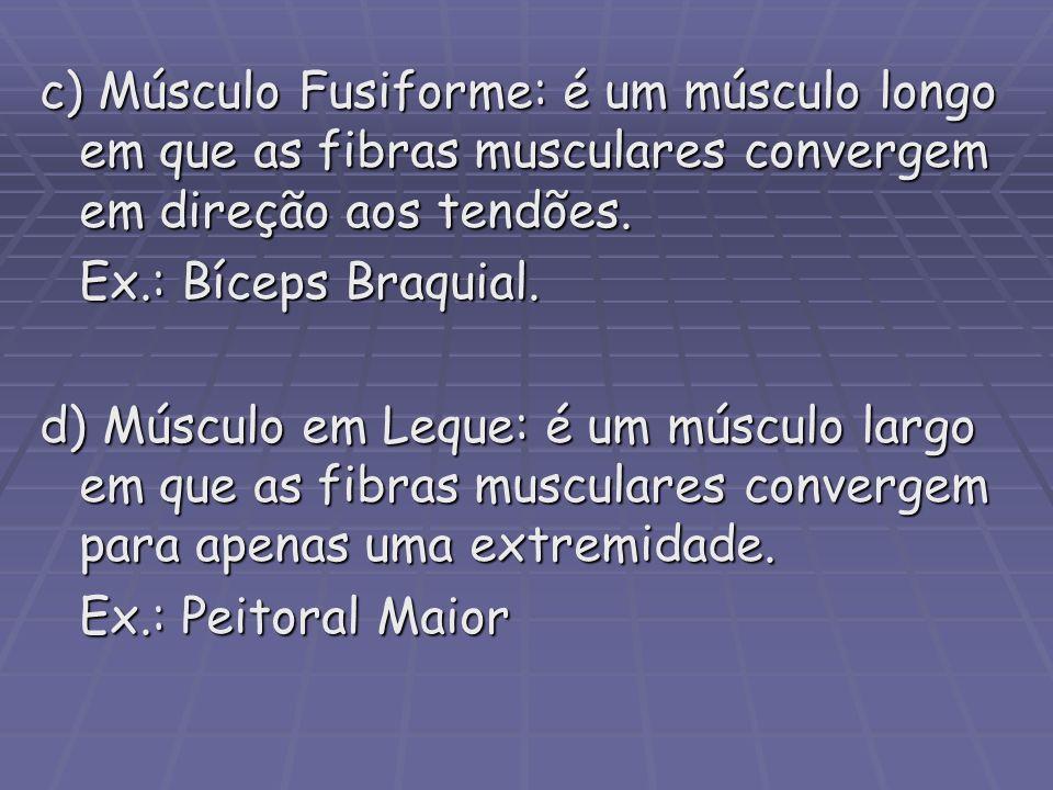 c) Músculo Fusiforme: é um músculo longo em que as fibras musculares convergem em direção aos tendões. Ex.: Bíceps Braquial. d) Músculo em Leque: é um