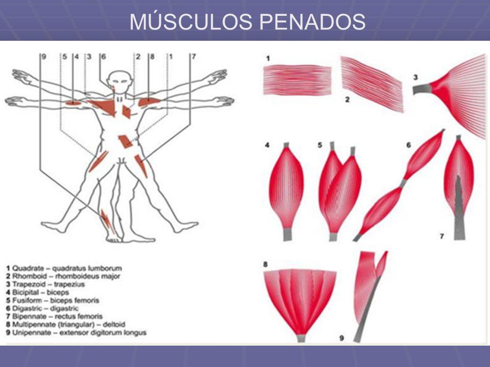 MÚSCULOS PENADOS