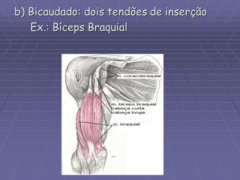 b) Bicaudado: dois tendões de inserção Ex.: Bíceps Braquial