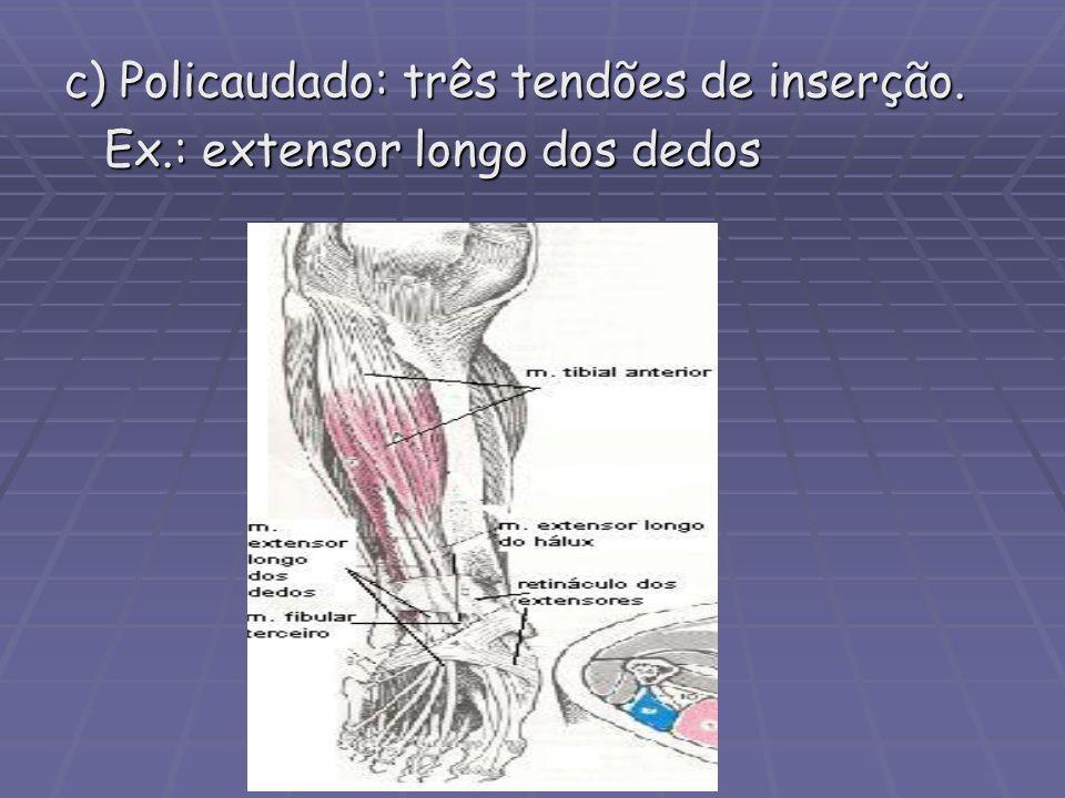 c) Policaudado: três tendões de inserção. Ex.: extensor longo dos dedos