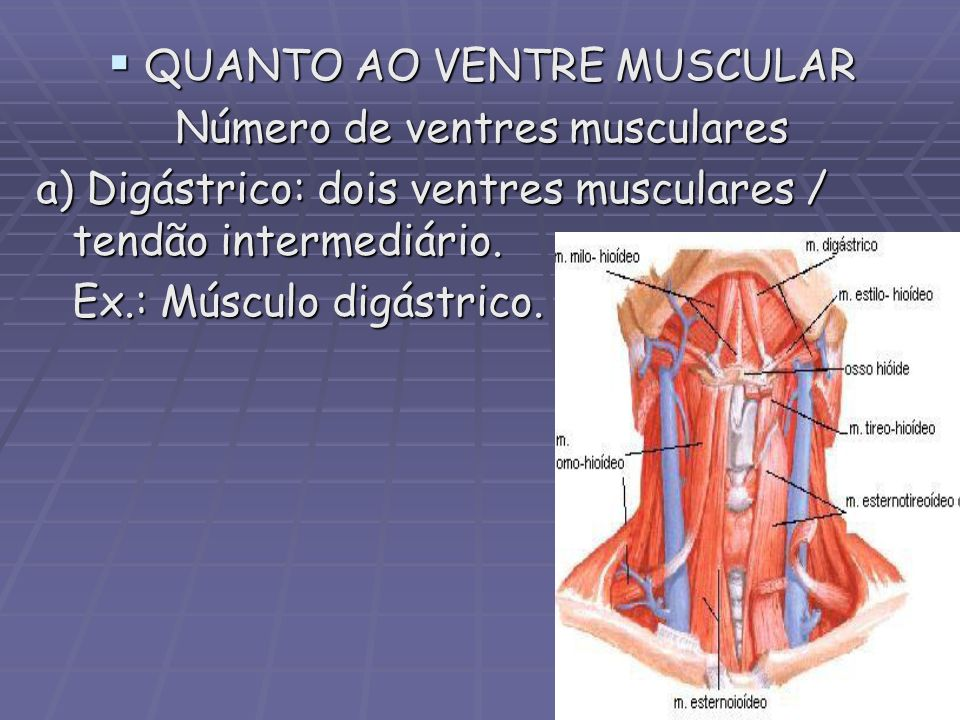 QUANTO AO VENTRE MUSCULAR QUANTO AO VENTRE MUSCULAR Número de ventres musculares a) Digástrico: dois ventres musculares / tendão intermediário. Ex.: M