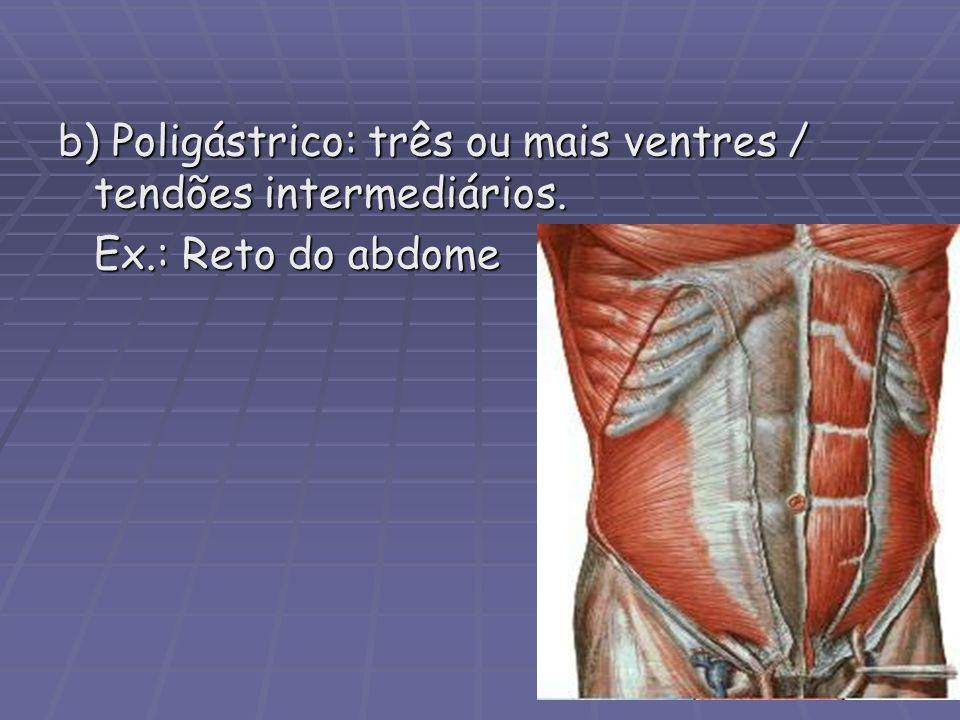 b) Poligástrico: três ou mais ventres / tendões intermediários. Ex.: Reto do abdome