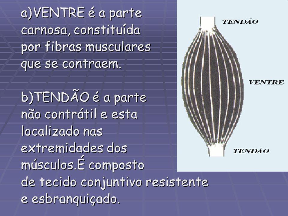 a)VENTRE é a parte carnosa, constituída por fibras musculares que se contraem. b)TENDÃO é a parte não contrátil e esta localizado nas extremidades dos