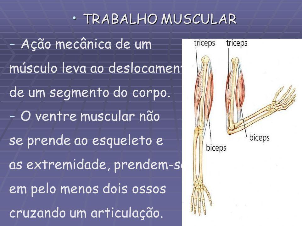 TRABALHO MUSCULAR TRABALHO MUSCULAR - - Ação mecânica de um músculo leva ao deslocamento de um segmento do corpo. - - O ventre muscular não se prende