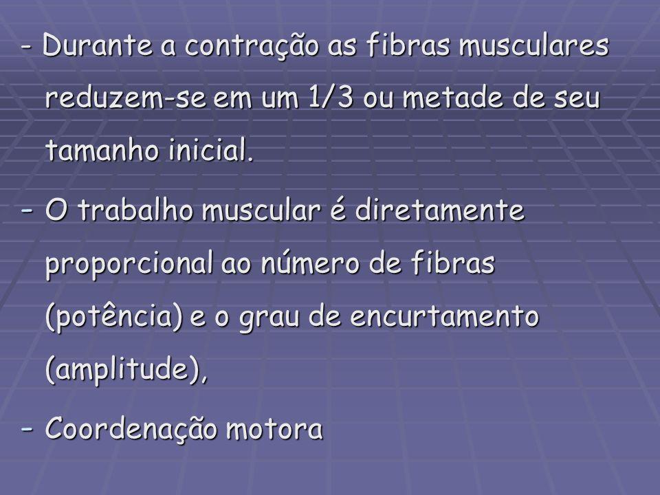 - Durante a contração as fibras musculares reduzem-se em um 1/3 ou metade de seu tamanho inicial. - O trabalho muscular é diretamente proporcional ao