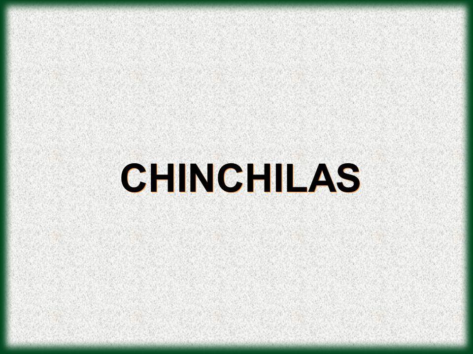 CHINCHILAS