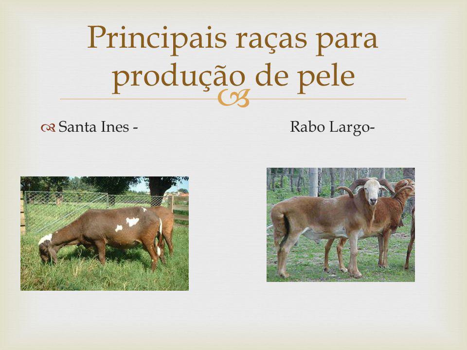 Santa Ines - Rabo Largo- Principais raças para produção de pele