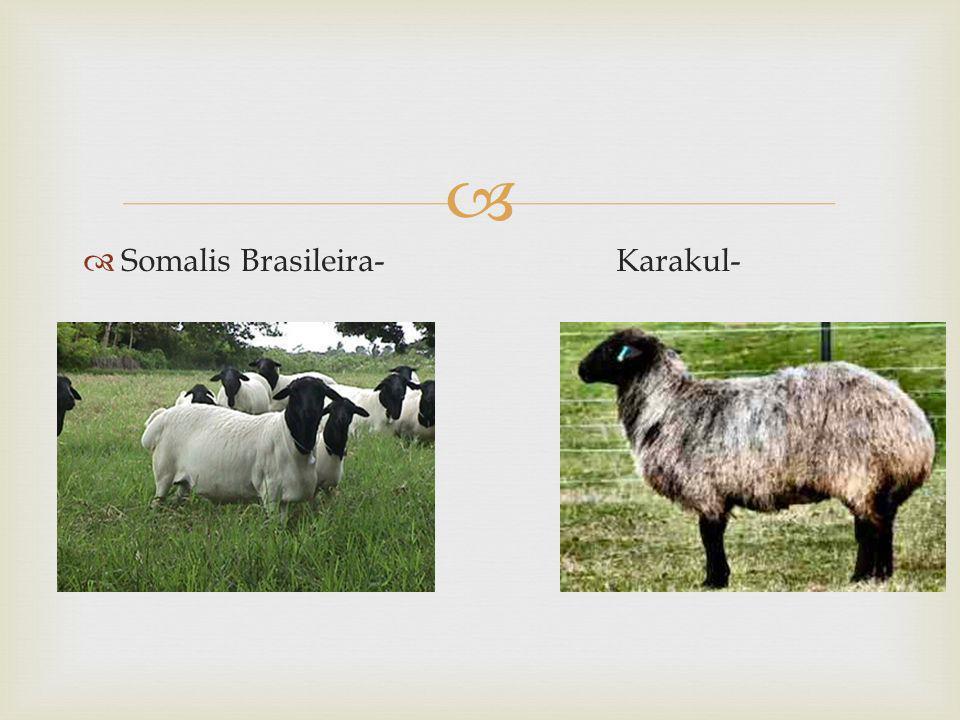 Somalis Brasileira- Karakul-