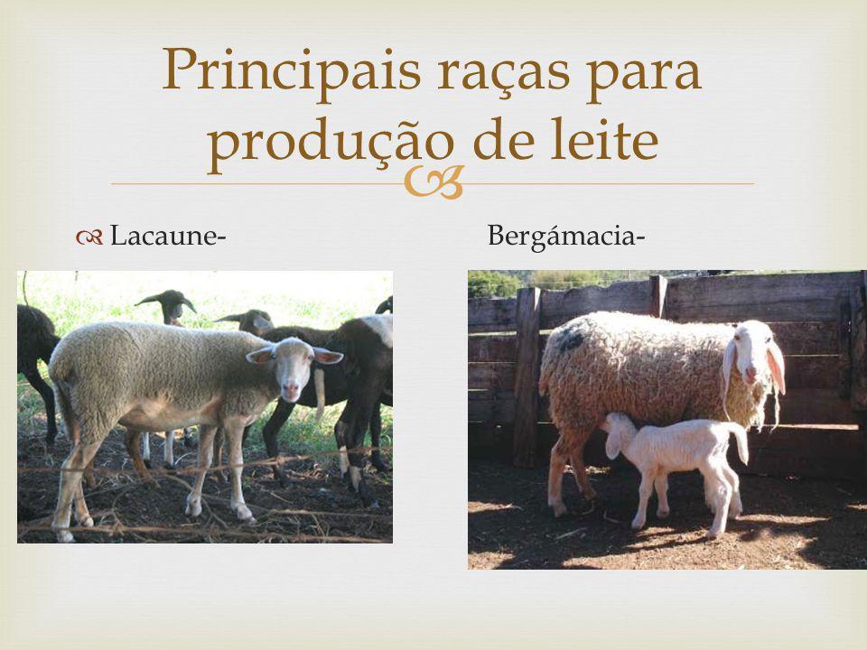 Lacaune- Bergámacia- Principais raças para produção de leite