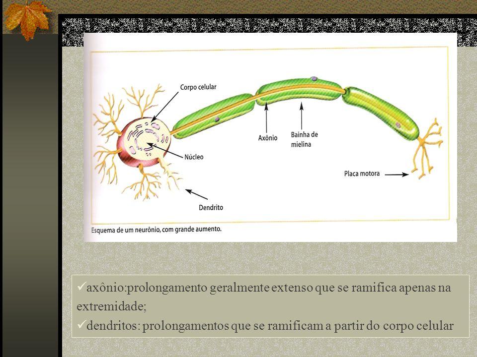 axônio:prolongamento geralmente extenso que se ramifica apenas na extremidade; dendritos: prolongamentos que se ramificam a partir do corpo celular