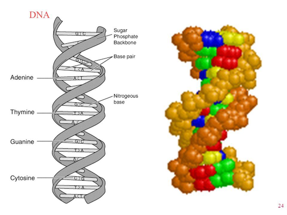 24 DNA