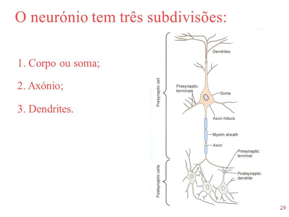 29 O neurónio tem três subdivisões: 1. Corpo ou soma; 2. Axónio; 3. Dendrites.