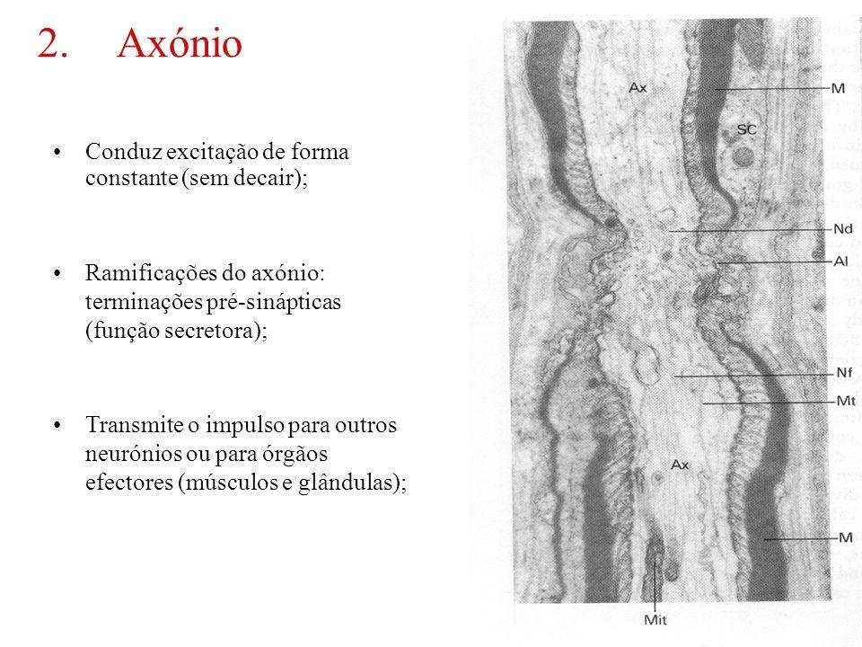 30 2.Axónio Conduz excitação de forma constante (sem decair); Ramificações do axónio: terminações pré-sinápticas (função secretora); Transmite o impul