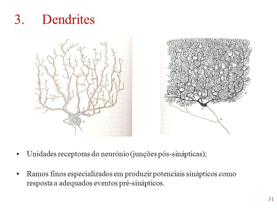 31 3.Dendrites Unidades receptoras do neurónio (junções pós-sinápticas); Ramos finos especializados em produzir potenciais sinápticos como resposta a