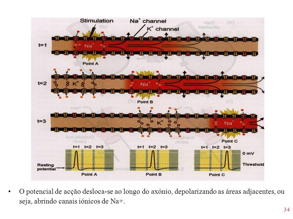 34 O potencial de acção desloca-se ao longo do axónio, depolarizando as áreas adjacentes, ou seja, abrindo canais iónicos de Na+.
