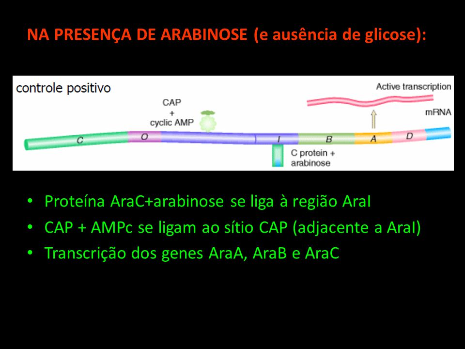 NA PRESENÇA DE ARABINOSE (e ausência de glicose): Proteína AraC+arabinose se liga à região AraI CAP + AMPc se ligam ao sítio CAP (adjacente a AraI) Tr