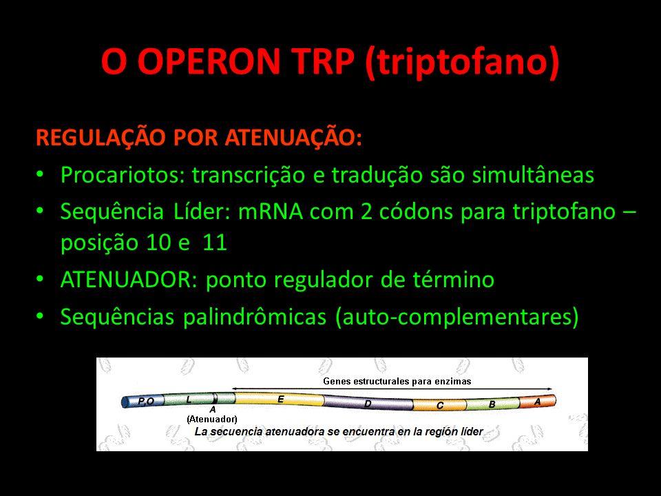 O OPERON TRP (triptofano) REGULAÇÃO POR ATENUAÇÃO: Procariotos: transcrição e tradução são simultâneas Sequência Líder: mRNA com 2 códons para triptof
