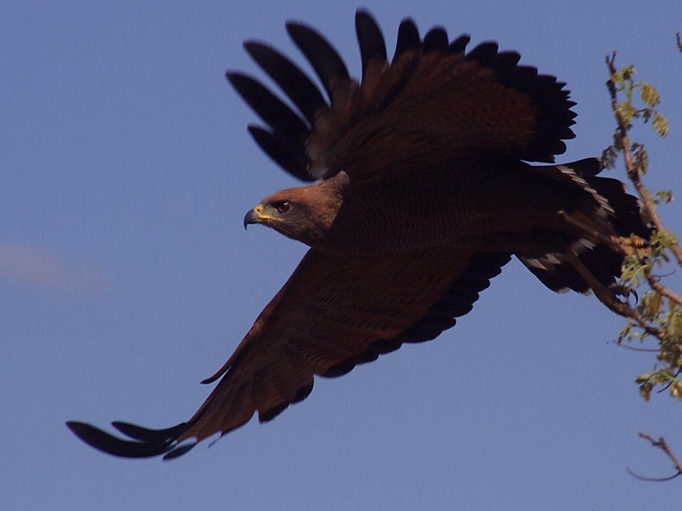 O paradigma da águia e a galinha _ Uma águia é sempre águia.
