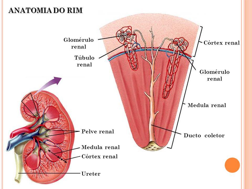 Córtex renal Medula renal Pelve renal Ureter Córtex renal Medula renal Ducto coletor Glomérulo renal Túbulo renal ANATOMIA DO RIM