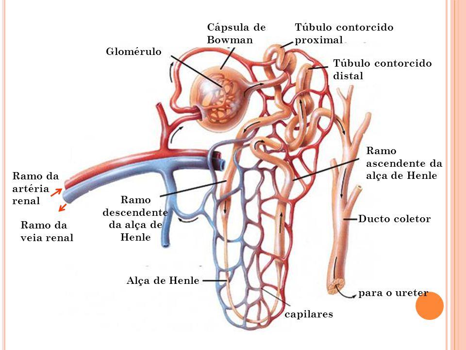 Cápsula de Bowman Glomérulo Ramo descendente da alça de Henle Ramo ascendente da alça de Henle Alça de Henle Ducto coletor capilares para o ureter Túb