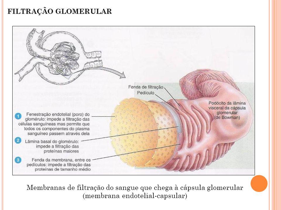 Membranas de filtração do sangue que chega à cápsula glomerular (membrana endotelial-capsular) FILTRAÇÃO GLOMERULAR