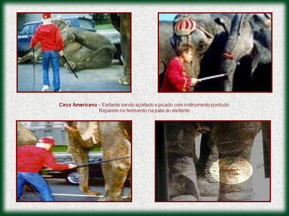 Circo Americano - Elefante sendo açoitado e picado com instrumento pontudo. Reparem no ferimento na pata do elefante.
